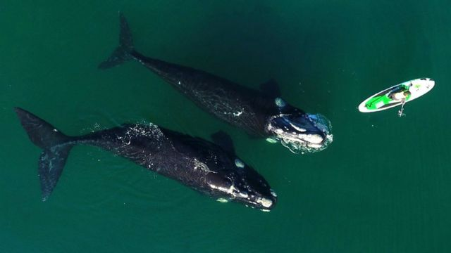 Whales come close if they are bathing