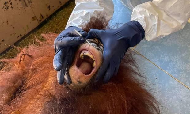 A veterinarian collects an orangutan swab sample for Covid-19 testing at the Sepilok Orangutan Rehabilitation Center in Sandakan, Malaysian Borneo, Photo: HANDOUT / AFP
