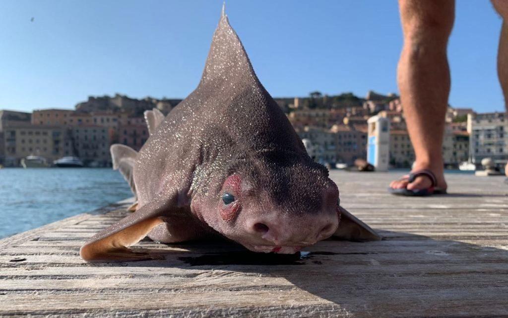 Pig-faced shark found in the Mediterranean    Globalism