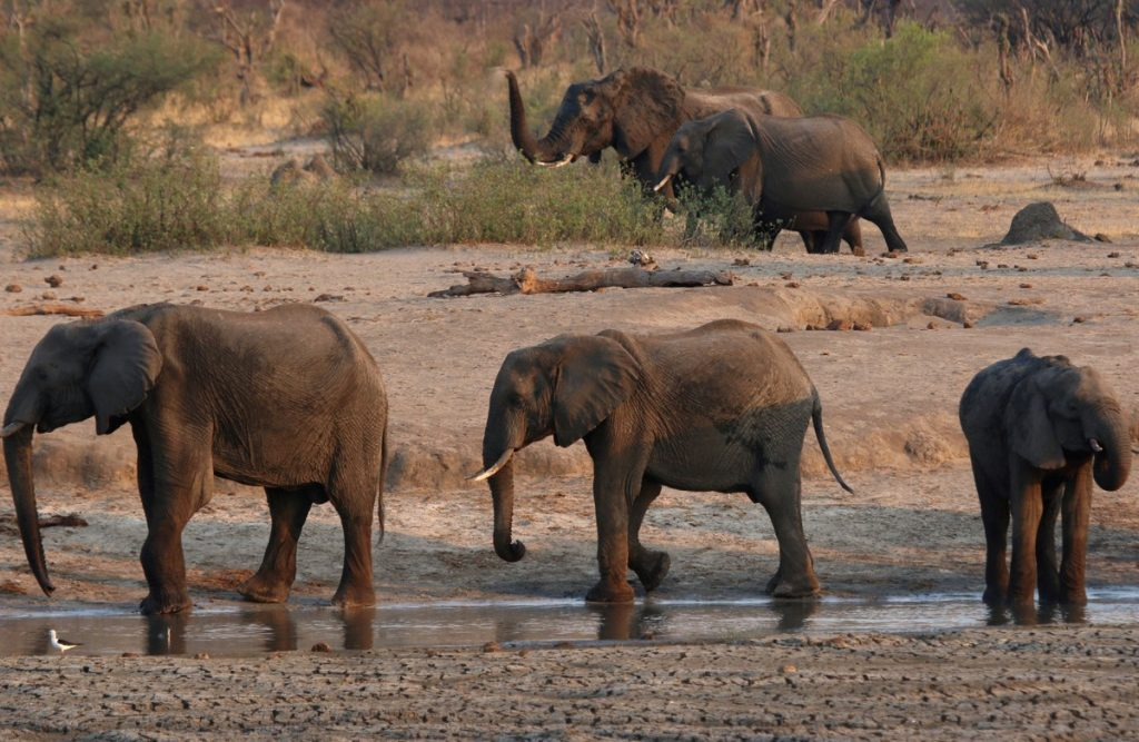 71-year-old tourist dies at the hands of an elephant in Zimbabwe    Globalism